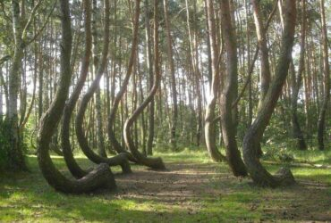 Krzywy Las