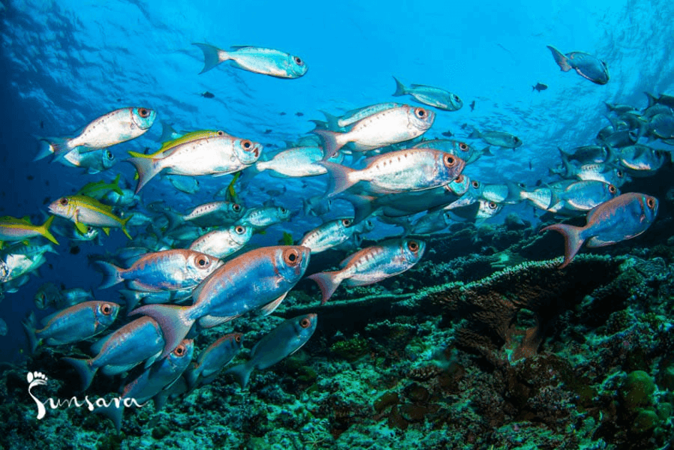 ryby malediwy